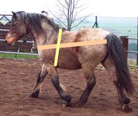 Pferde vermessen, dann Gewicht berechnen